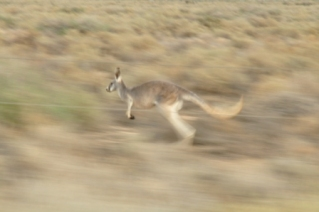 Racing Kangaroos