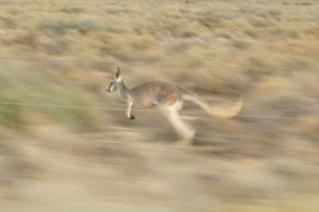 Racing Kangaroos