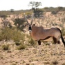 Gemsbok - Kings of the Kalahari