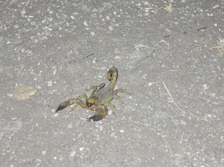 Free scorpion