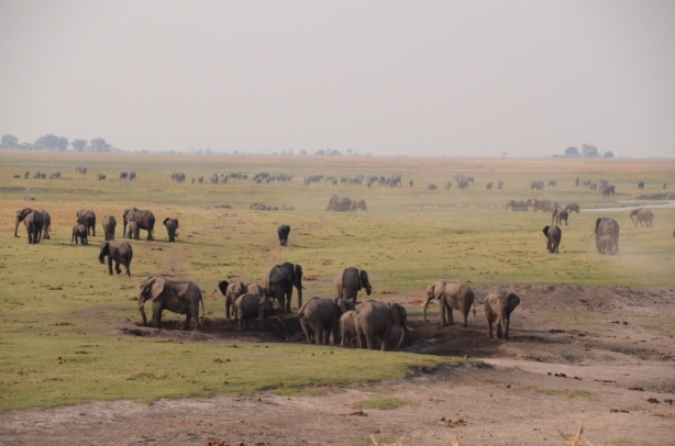 Elephants as far as the eye can see - Chobe