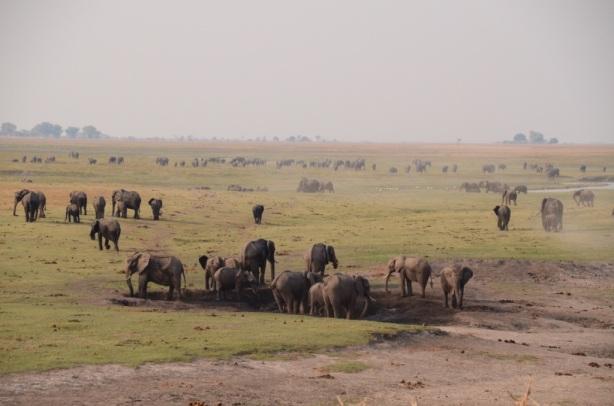 Elephants as far as the eye can see - Chobe
