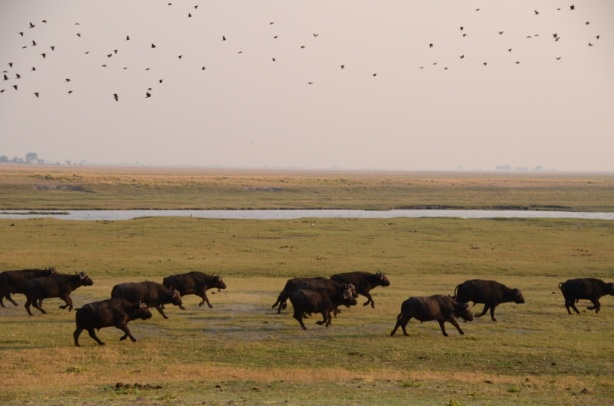 Running Buffalo  -Chobe