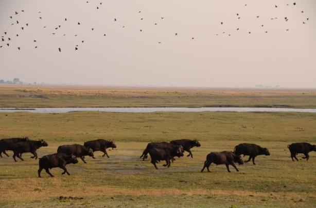 Running Buffalo  -Chobe