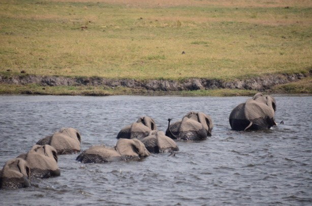 Swimming elephants - Chobe