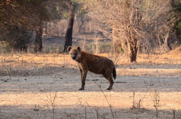 Spotted Hyena - Mana pools