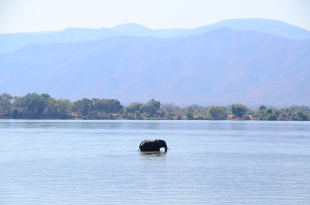 Elephant bathing in the Zambezi