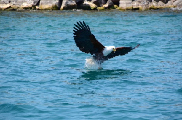 Feeding the Fish Eagles
