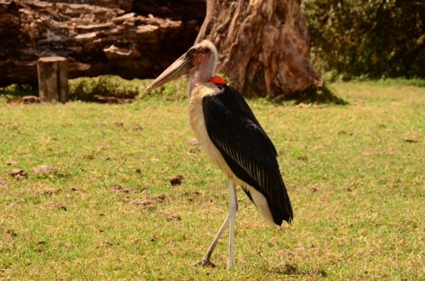 Black stork - they are huge!!