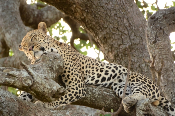 Beautiful leopard makes sleeping in a tree look so comfortable!