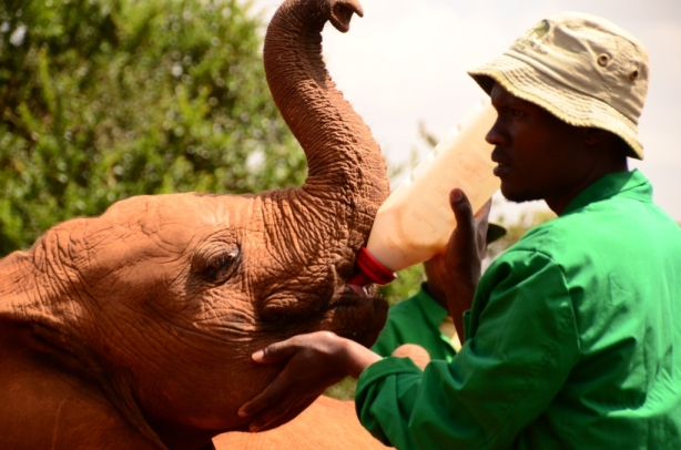 Feeding time at David Sheldrick orphanage