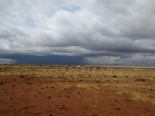 Camels cross the plains as the storms roll in